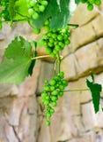 Grüne Trauben auf Rebe Stockfotos