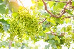 Grüne Trauben auf Rebe Lizenzfreies Stockfoto