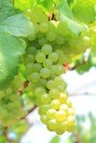 Grüne Trauben auf Rebsonnenuntergangzeit Lizenzfreies Stockfoto