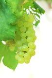 Grüne Trauben auf Rebsonnenuntergangzeit Stockfoto
