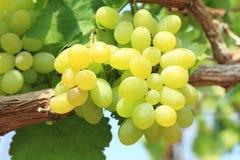 Grüne Trauben auf Rebsonnenuntergangzeit Stockbild