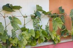 Grüne Trauben auf Wand Stockfotografie