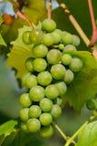 Grüne Trauben, die auf Rebe wachsen Stockfotos