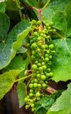 Grüne Trauben, die beginnen zu wachsen Lizenzfreie Stockfotos