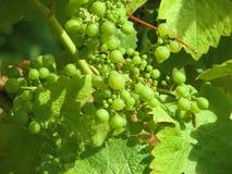 Grüne Trauben, die Erntezeit sich nähern Lizenzfreies Stockfoto