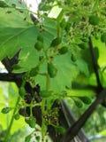 Grüne Trauben, die im Garten wachsen stockbild