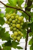 Grüne Trauben im Garten Lizenzfreie Stockfotos