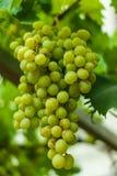 Grüne Trauben im Garten Stockfotografie