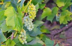Grüne Trauben im Weinberg Lizenzfreie Stockbilder