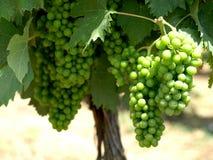 Grüne Trauben O stockfoto