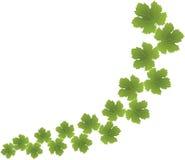 Grüne Traubenblätter stockbild