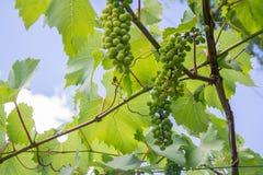 Grüne Traubenblumen- und -gartenvegetation Weinrebe stockfotografie