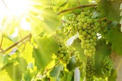 Grüne Traubengruppen Blauer Portugeiser im Sonnenlicht Lizenzfreie Stockfotografie