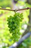 Grüne Traubennahaufnahme von einem Weinberg Stockfoto