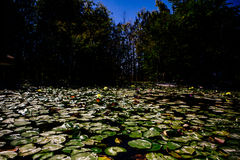 Grüne Travertine, die auf die Oberfläche von einem See schwimmen stockbild