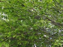 Grüne Treetops Stockfotos