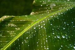Grüne tropische Bananen-Blätter mit Tautropfen stockfoto