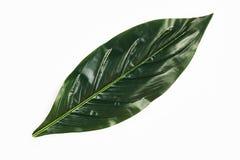 Grüne tropische Blätter lokalisiert auf weißem Hintergrund, Nahaufnahme, zu lizenzfreie stockfotografie
