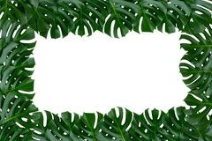 Grüne tropische monstera Pflanzenblätter-Naturgrenze auf weißem Hintergrund lizenzfreie stockbilder
