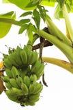 Grüne unausgereifte Bananen Stockbild