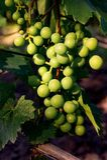 Grüne unausgereifte Beeren der Traube, auf einer Niederlassung Nahaufnahme Lizenzfreies Stockbild