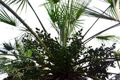 Grüne unausgereifte Frucht auf Palme lizenzfreie stockfotos