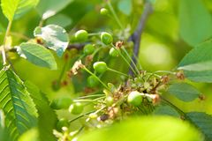 Grüne unausgereifte Kirschen, die an den Niederlassungen im Kirschbaum hängen lizenzfreies stockfoto