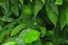 Grüne unausgereifte Zitrusfrucht Lizenzfreie Stockfotografie