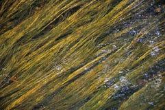 Grüne und gelbe Algen unter watter Stockbild