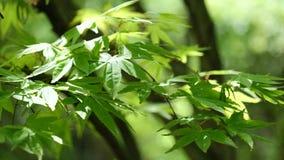 Grüne und gelbe Blätter des Palmate hellen Winds des Ahorns im Frühjahr, 4K stock video footage