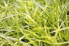 Grüne und gelbe Gräser Stockfoto