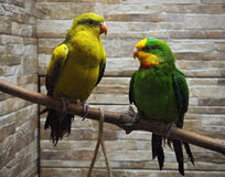 Grüne und gelbe Papageien sitzen am Seil Lizenzfreies Stockfoto