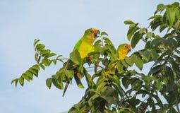 Grüne und gelbe Papageien unter Baumblättern Stockbild