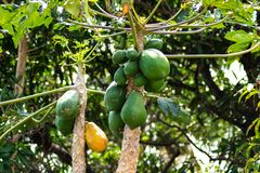 Gr?ne und gelbe Papayas, die vom Baum h?ngen lizenzfreies stockfoto