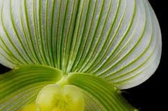 Grüne und gelbe Paphiopedilum Maudiae Orchidee Stockfotografie