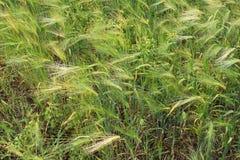 Grüne und gelbe Weizenähren nach dem Regen Lizenzfreies Stockbild