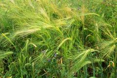 Grüne und gelbe Weizenähren nach dem Regen Stockbilder