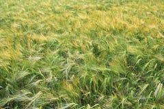 Grüne und gelbe Weizenähren nach dem Regen Stockfotografie