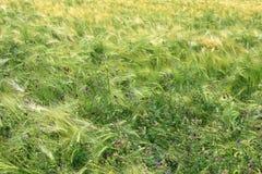 Grüne und gelbe Weizenähren nach dem Regen Stockfotos