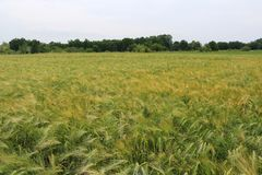 Grüne und gelbe Weizenähren nach dem Regen Stockfoto