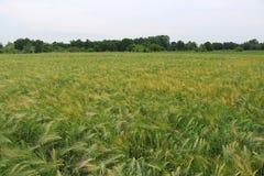 Grüne und gelbe Weizenähren nach dem Regen Stockbild