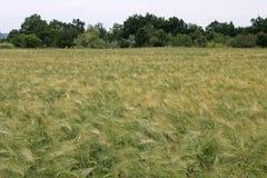 Grüne und gelbe Weizenähren nach dem Regen Lizenzfreie Stockfotografie