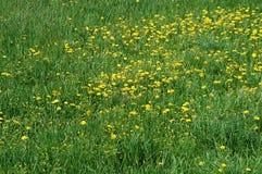 Grüne und gelbe Wiese Stockfotografie
