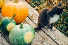 Grüne und orange Kürbise auf hölzernem Weinlesehintergrund, wenn eine Schwarzweiss-Katze nahe bei sitzt stockfotos