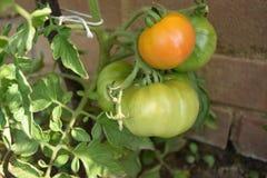 Grüne und orange Tomaten auf einem Stiel Lizenzfreies Stockfoto