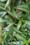 Grüne und Purpurblätter stockbilder