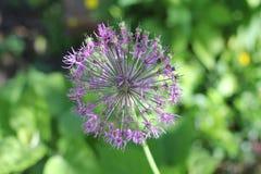 Grüne und purpurrote Blumenballnahaufnahme der Zwiebel draußen Stockbild