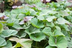 Grüne und purpurrote frische Blätter der Süßkartoffel auf Bauernhof Stockfotografie