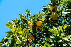 Grüne und reife Orangen im Baum Stockfotos