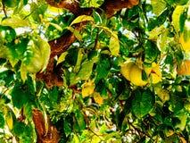 Grüne und reife Orangen im Baum Stockbild